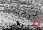 Image of grizzly bear Alaska United States USA, 1929, second 53 stock footage video 65675051271