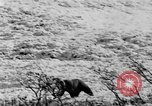 Image of grizzly bear Alaska United States USA, 1929, second 58 stock footage video 65675051271