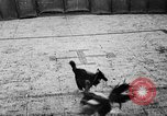 Image of cockfighting Guaynabo Puerto Rico, 1935, second 28 stock footage video 65675052095