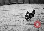 Image of cockfighting Guaynabo Puerto Rico, 1935, second 31 stock footage video 65675052095