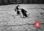 Image of cockfighting Guaynabo Puerto Rico, 1935, second 34 stock footage video 65675052095