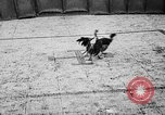 Image of cockfighting Guaynabo Puerto Rico, 1935, second 36 stock footage video 65675052095