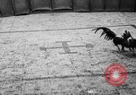 Image of cockfighting Guaynabo Puerto Rico, 1935, second 37 stock footage video 65675052095
