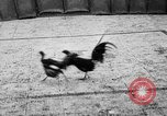 Image of cockfighting Guaynabo Puerto Rico, 1935, second 38 stock footage video 65675052095