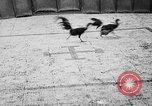 Image of cockfighting Guaynabo Puerto Rico, 1935, second 40 stock footage video 65675052095