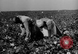 Image of African American picking cotton United States USA, 1930, second 16 stock footage video 65675052586