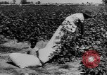 Image of African American picking cotton United States USA, 1930, second 20 stock footage video 65675052586