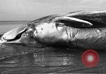 Image of dead beached whale United States USA, 1936, second 29 stock footage video 65675053140