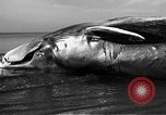 Image of dead beached whale United States USA, 1936, second 30 stock footage video 65675053140