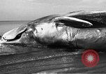 Image of dead beached whale United States USA, 1936, second 31 stock footage video 65675053140