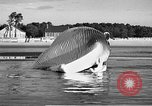 Image of dead beached whale United States USA, 1936, second 32 stock footage video 65675053140