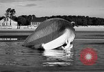 Image of dead beached whale United States USA, 1936, second 33 stock footage video 65675053140