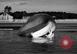 Image of dead beached whale United States USA, 1936, second 34 stock footage video 65675053140