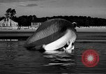 Image of dead beached whale United States USA, 1936, second 35 stock footage video 65675053140