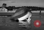 Image of dead beached whale United States USA, 1936, second 37 stock footage video 65675053140
