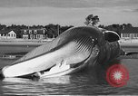 Image of dead beached whale United States USA, 1936, second 39 stock footage video 65675053140