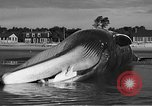 Image of dead beached whale United States USA, 1936, second 40 stock footage video 65675053140