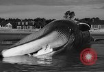 Image of dead beached whale United States USA, 1936, second 41 stock footage video 65675053140