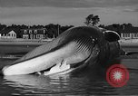 Image of dead beached whale United States USA, 1936, second 42 stock footage video 65675053140