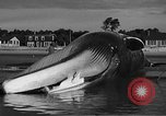Image of dead beached whale United States USA, 1936, second 44 stock footage video 65675053140
