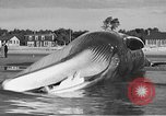 Image of dead beached whale United States USA, 1936, second 45 stock footage video 65675053140