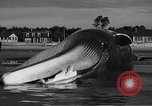 Image of dead beached whale United States USA, 1936, second 46 stock footage video 65675053140