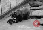 Image of triplet bear cubs Washington DC USA, 1936, second 10 stock footage video 65675053232