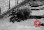 Image of triplet bear cubs Washington DC USA, 1936, second 12 stock footage video 65675053232