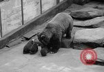 Image of triplet bear cubs Washington DC USA, 1936, second 13 stock footage video 65675053232