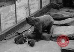 Image of triplet bear cubs Washington DC USA, 1936, second 14 stock footage video 65675053232
