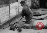 Image of triplet bear cubs Washington DC USA, 1936, second 15 stock footage video 65675053232