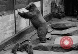 Image of triplet bear cubs Washington DC USA, 1936, second 16 stock footage video 65675053232