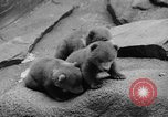 Image of triplet bear cubs Washington DC USA, 1936, second 17 stock footage video 65675053232