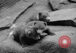 Image of triplet bear cubs Washington DC USA, 1936, second 18 stock footage video 65675053232