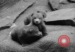 Image of triplet bear cubs Washington DC USA, 1936, second 20 stock footage video 65675053232