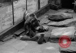 Image of triplet bear cubs Washington DC USA, 1936, second 23 stock footage video 65675053232