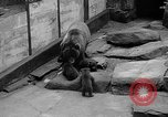Image of triplet bear cubs Washington DC USA, 1936, second 24 stock footage video 65675053232