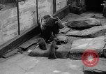 Image of triplet bear cubs Washington DC USA, 1936, second 25 stock footage video 65675053232
