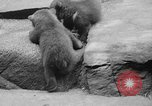 Image of triplet bear cubs Washington DC USA, 1936, second 26 stock footage video 65675053232