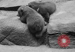 Image of triplet bear cubs Washington DC USA, 1936, second 27 stock footage video 65675053232