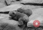 Image of triplet bear cubs Washington DC USA, 1936, second 28 stock footage video 65675053232