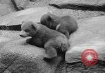 Image of triplet bear cubs Washington DC USA, 1936, second 29 stock footage video 65675053232