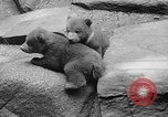 Image of triplet bear cubs Washington DC USA, 1936, second 30 stock footage video 65675053232