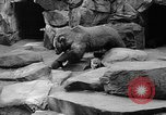 Image of triplet bear cubs Washington DC USA, 1936, second 31 stock footage video 65675053232