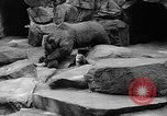 Image of triplet bear cubs Washington DC USA, 1936, second 32 stock footage video 65675053232