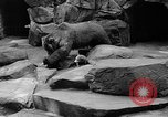 Image of triplet bear cubs Washington DC USA, 1936, second 33 stock footage video 65675053232