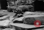 Image of triplet bear cubs Washington DC USA, 1936, second 34 stock footage video 65675053232