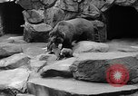 Image of triplet bear cubs Washington DC USA, 1936, second 35 stock footage video 65675053232