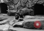 Image of triplet bear cubs Washington DC USA, 1936, second 36 stock footage video 65675053232