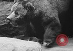 Image of triplet bear cubs Washington DC USA, 1936, second 38 stock footage video 65675053232